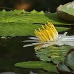 McKee Gardens Waterlilies 6-16-18