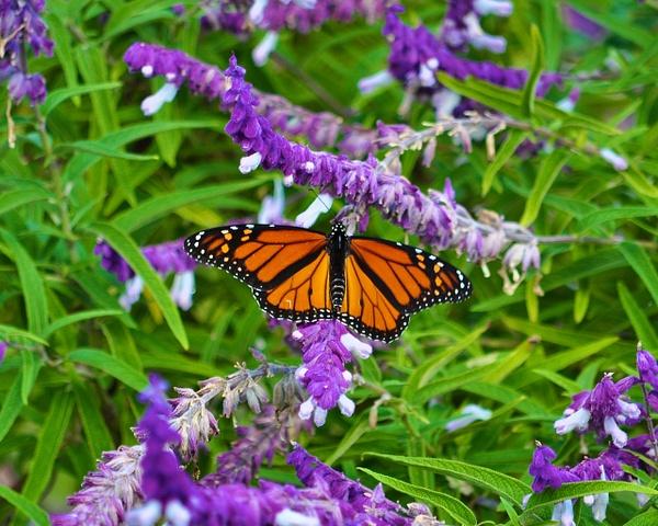 Monarch_in_Butterfly_Garden by ArtCooler