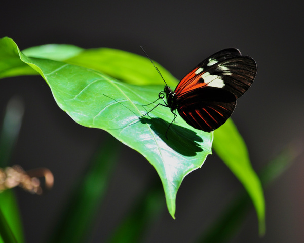 Butterfly_on_Leaf by ArtCooler