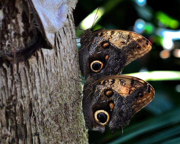 Twin_Owl_Butterflies by ArtCooler