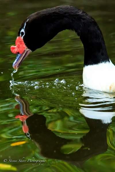 Black_Neck_Swan