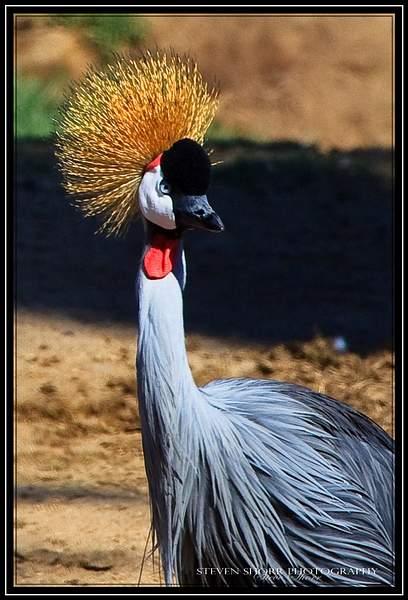 East_African_Crowned_Crane_2