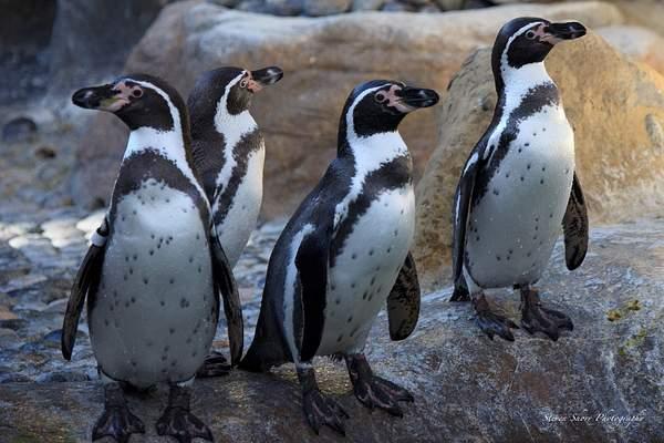 Humbolt_Penguin