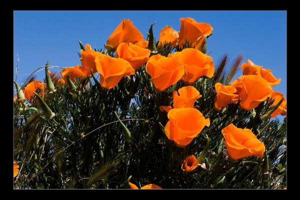 Poppies_Fr