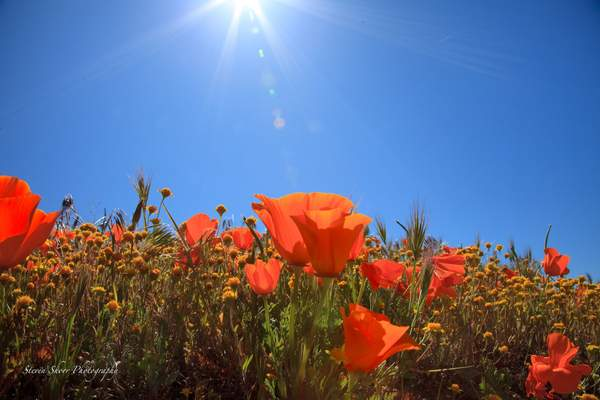Sun_Kissed_Poppies