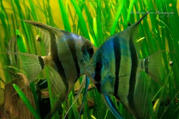 Ange Fish