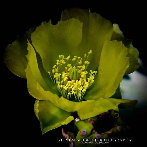 Cactis Flower