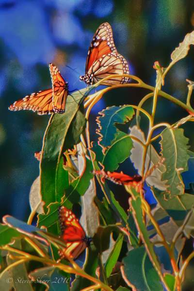Monarch_Butterflies-Pismo-2011-5