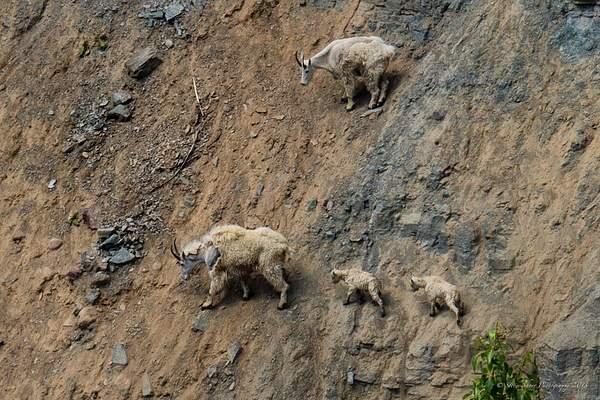 Mountain Goats-2