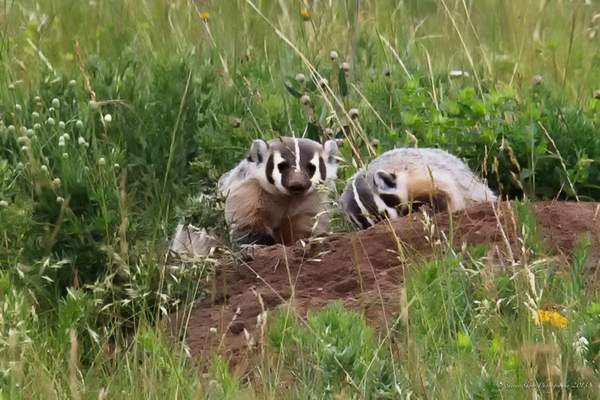 Badgers at Work