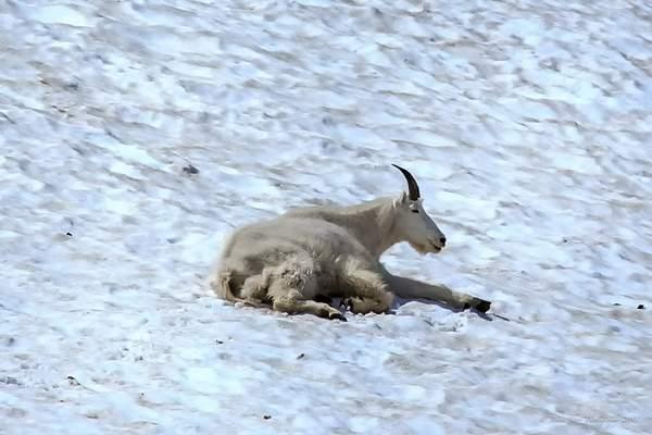 Mountain Goat-3