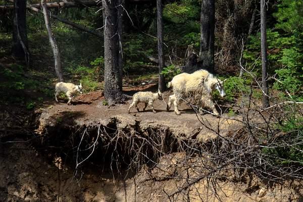 Mountain Goats-4