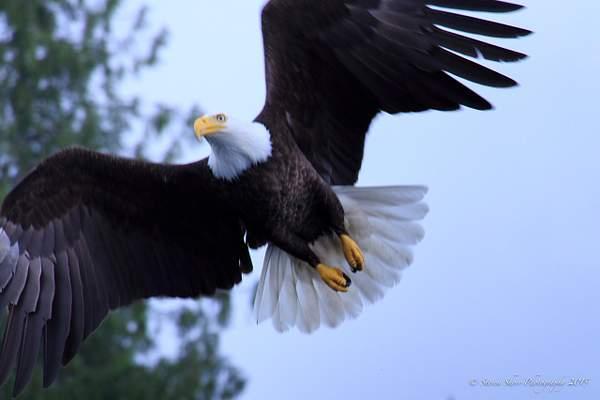 Bald Eagles-1