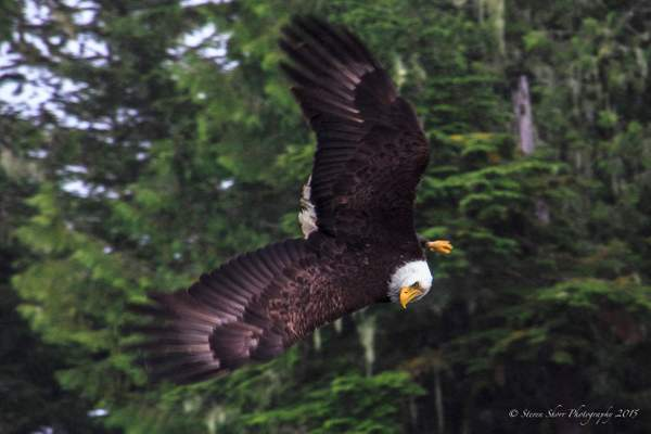 Bald Eagles-2