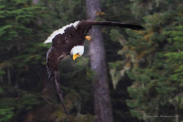 Bald Eagles-3