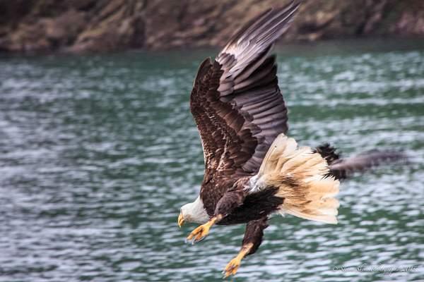 Bald Eagles-4