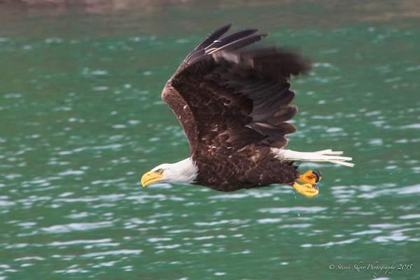 Bald Eagles-5