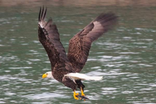 Bald Eagles-7