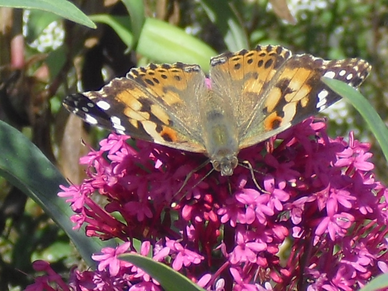 front-butterfly-flower copy