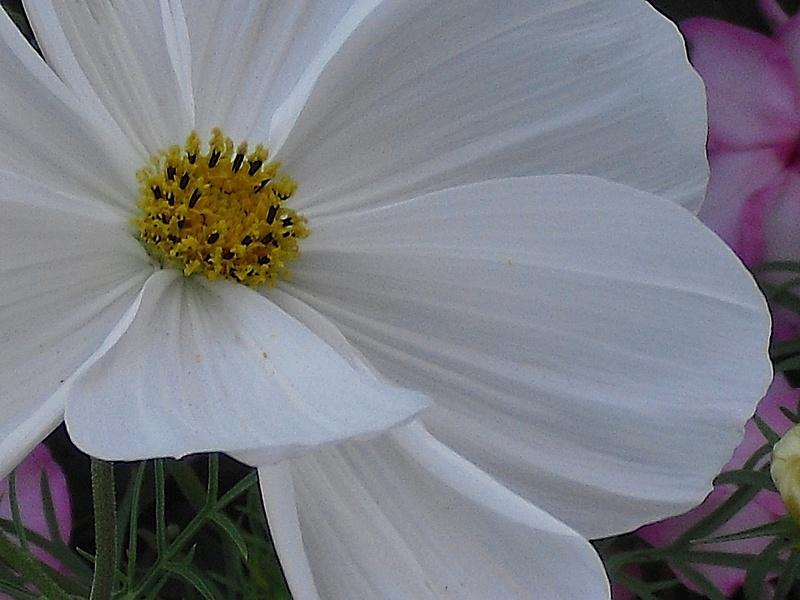 big-daisy-maybe copy