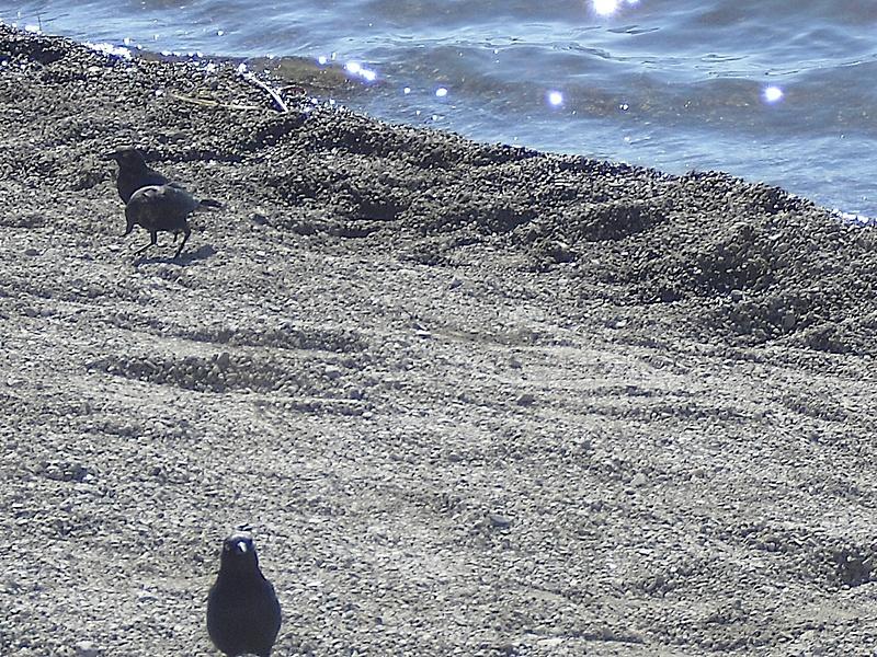 three-birds-on-beach copy