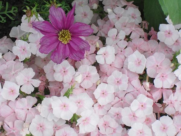 pinks-dark-pink-flower copy by Suzanne
