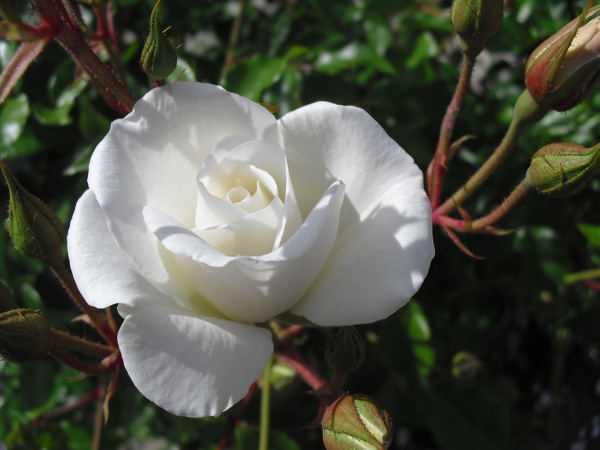 bright-white-rose copy by Suzanne