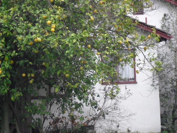 lemon-tree-window copy by Suzanne