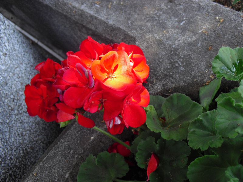 juan-geranium-lighted copy