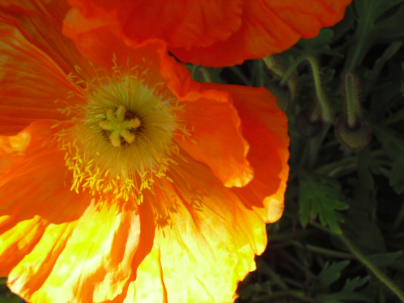 close-up-poppy copy