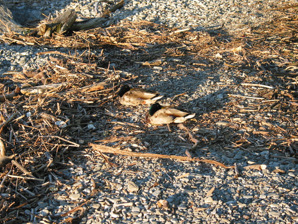 ducks on the beach by Kathyemery