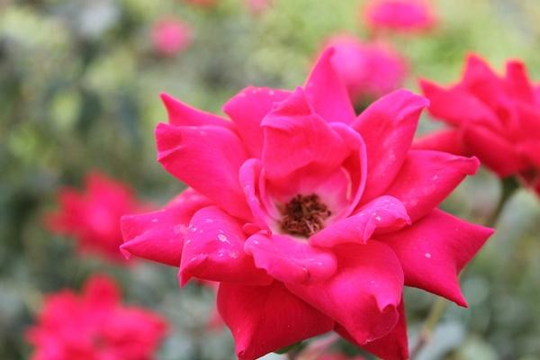 rose by Leslie Castaneda