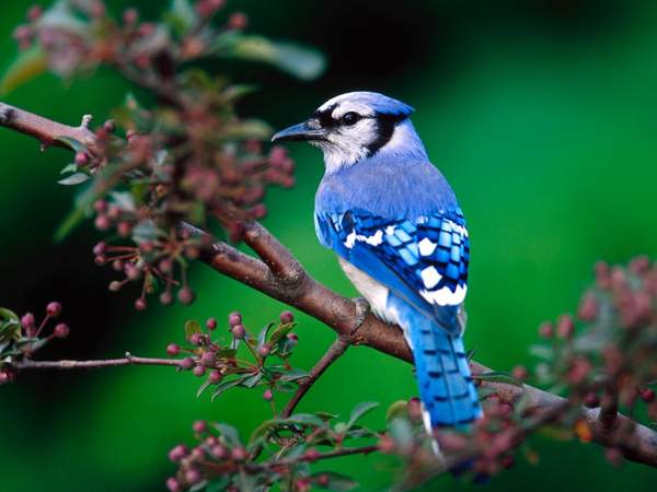 beautiful-green-nature-with-birds-bue-jay-bird