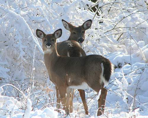deer_in_snow
