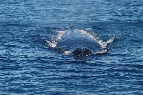 3 Juneau_WhaleWatching (11) by Verryl V Fosnight Jr