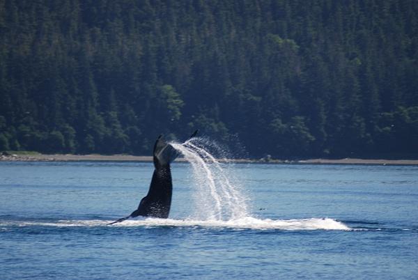 3 Juneau_WhaleWatching (31) by Verryl V Fosnight Jr