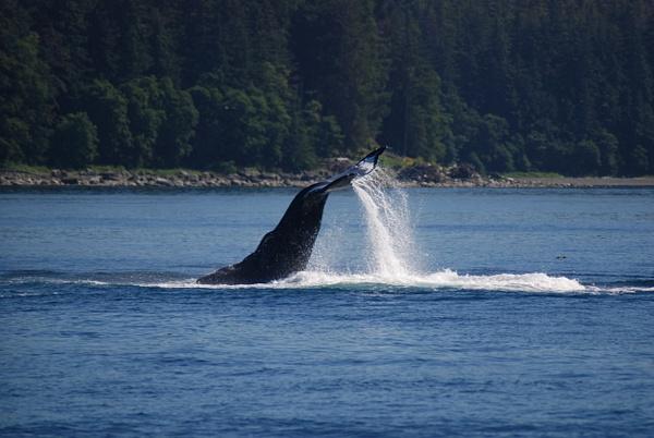 3 Juneau_WhaleWatching (34) by Verryl V Fosnight Jr