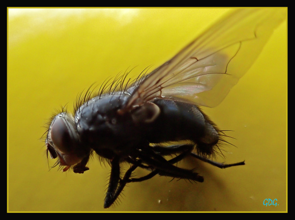 The Fly by Gino De  Grandis