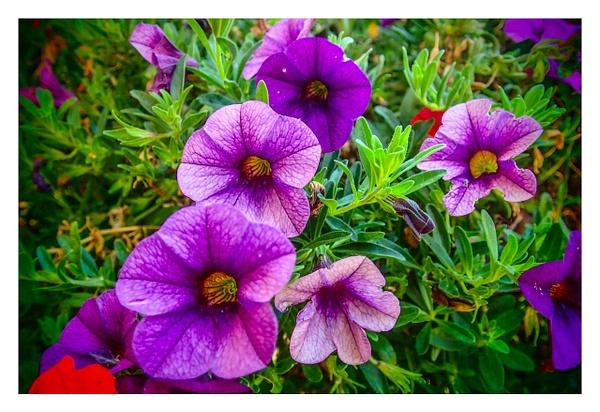 Purple by Gino De  Grandis