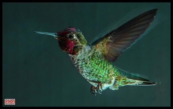 Hummingbird by Gino De  Grandis