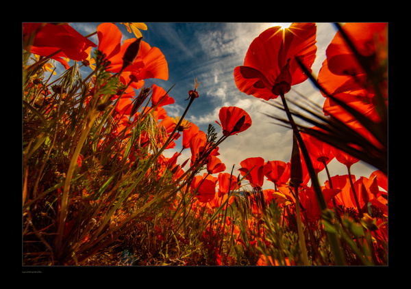 Poppies by Gino De  Grandis