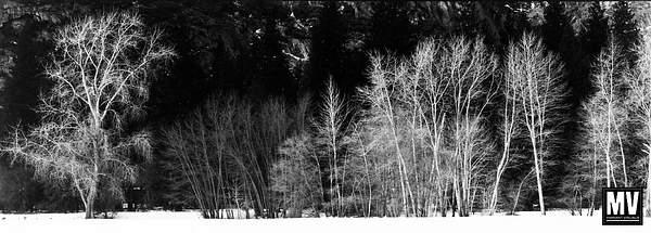 Oak & Aspens, Yosemite