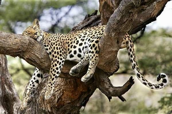 Cat_nap_anyone-_Beats_a_Beautyrest_anyday
