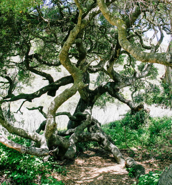 Gnarly Oak Tree in Montana de Oro State Park.jpg by...