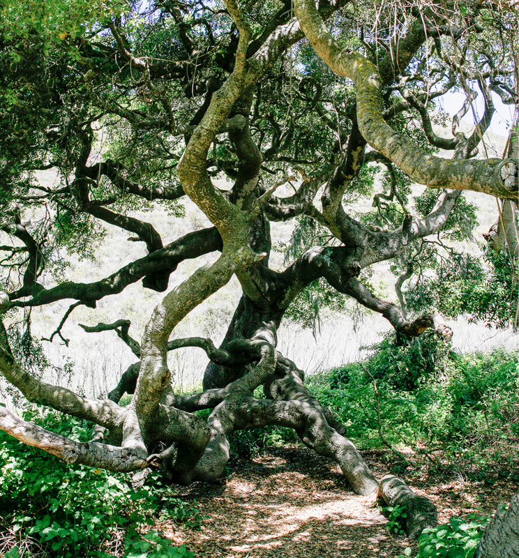 Gnarly Oak Tree in Montana de Oro State Park.jpg