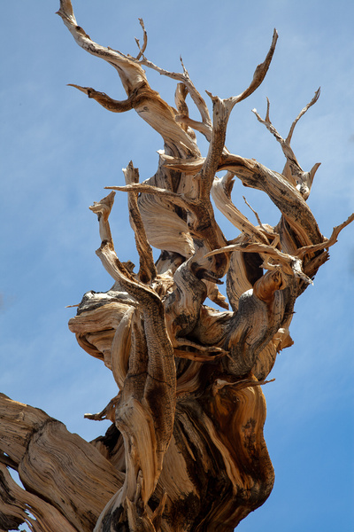 Bristle Cone Pine Closeup by Harrison Clark