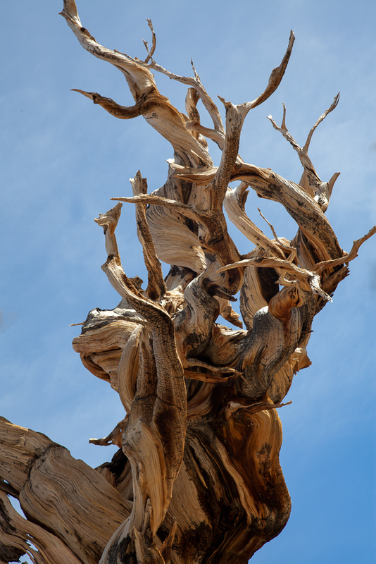 Bristle Cone Pine Closeup