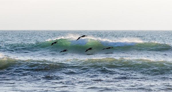Playful Pelicans.jpg by Harrison Clark
