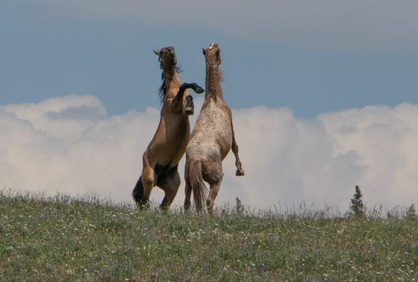 Wild Mustangs on Pryor Mountain, WY-2657
