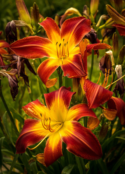 Day lilies by MartinShook369